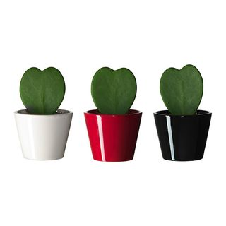 Hoya-kerrii-potted-plant-with-pot__0149144_PE307648_S4