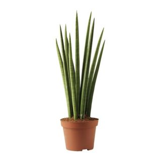 Sansevieria-cylindrica-potted-plant__0098050_PE238951_S4